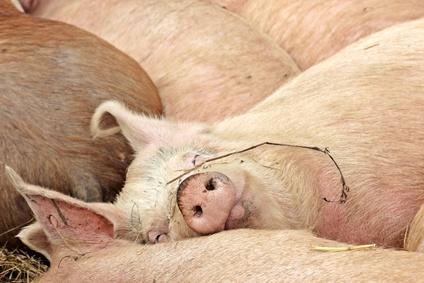 Schlafendes Weideschwein im Winter