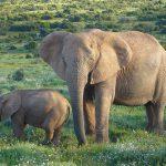 african-elephants-613028_640